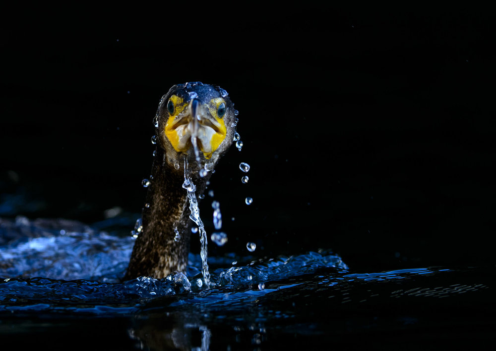 Great Cormorant (Phalacrocorax carbo), immature bird surfacing from a fishing attempt, London, 01/14. Cropped.