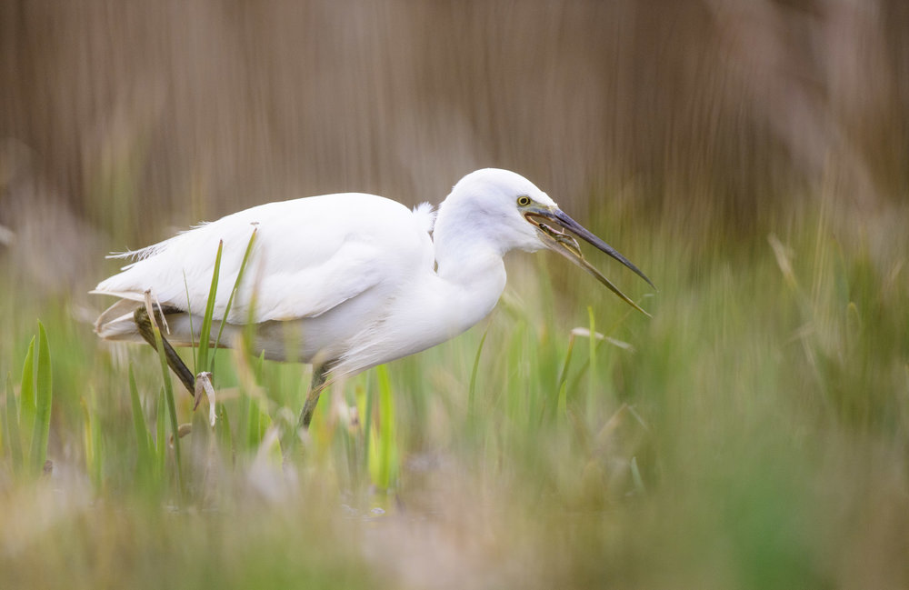 Little Egret (Egretta garzetta) with fish in marshland, Suffolk. 03/15.