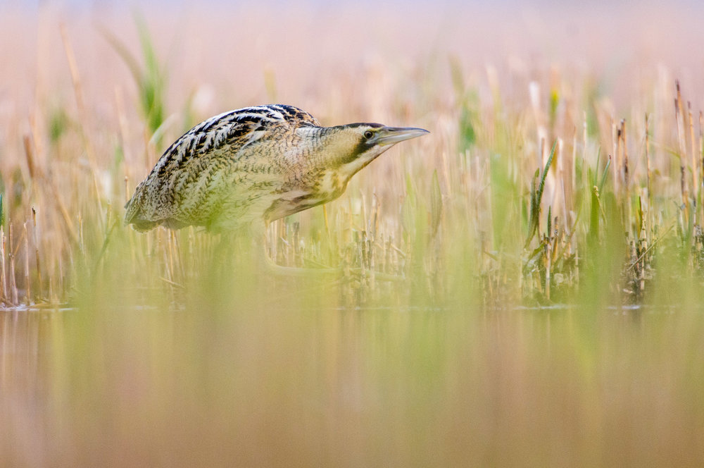 Great Bittern (Botaurus stellaris), Suffolk, feeding, spring, 03/12