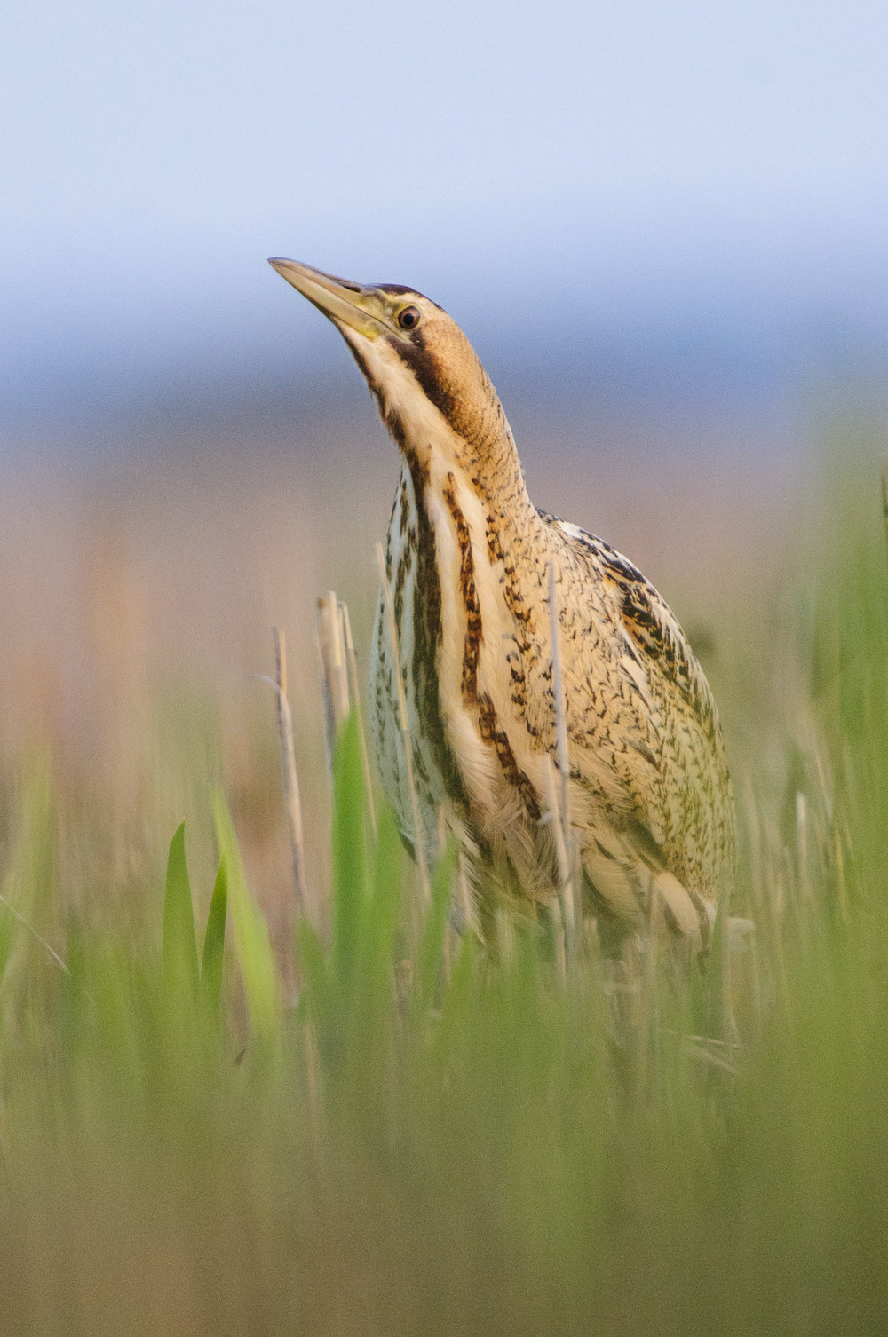 Great Bittern (Botaurus stellaris), Suffolk, feeding, spring.