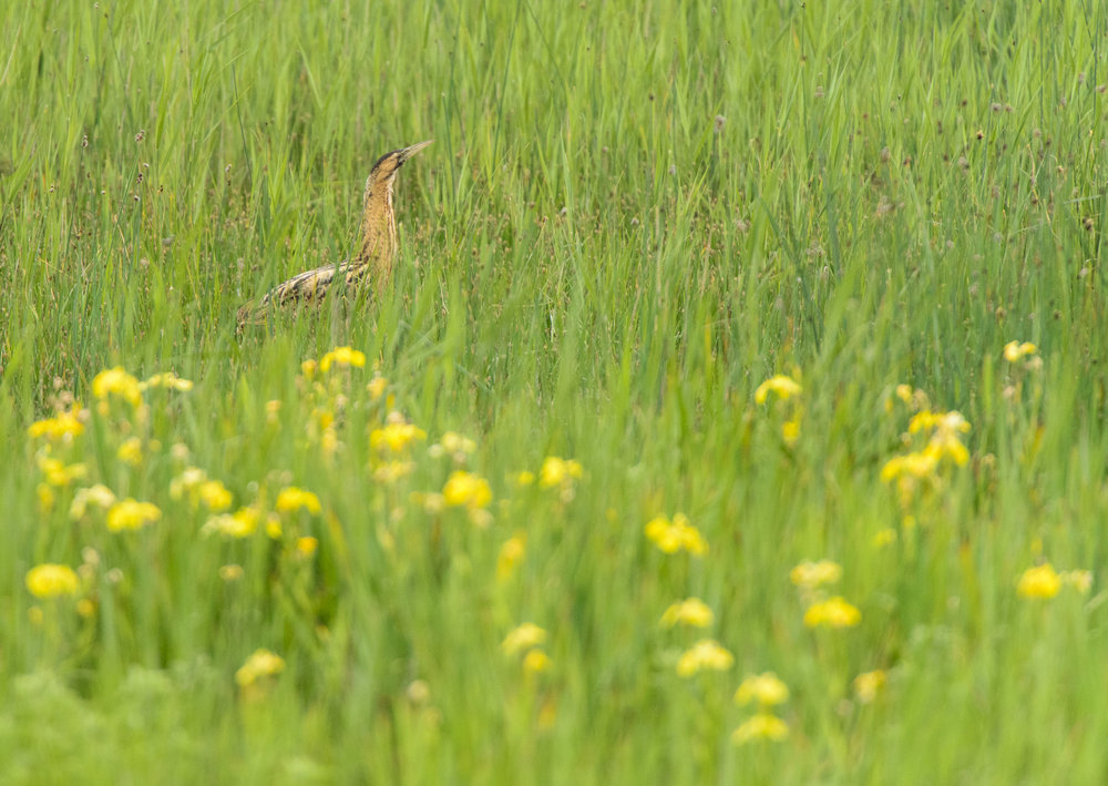 Great Bittern (Botaurus stellaris), fishing in yellow flag iris, Suffolk, 06/14. Cropped