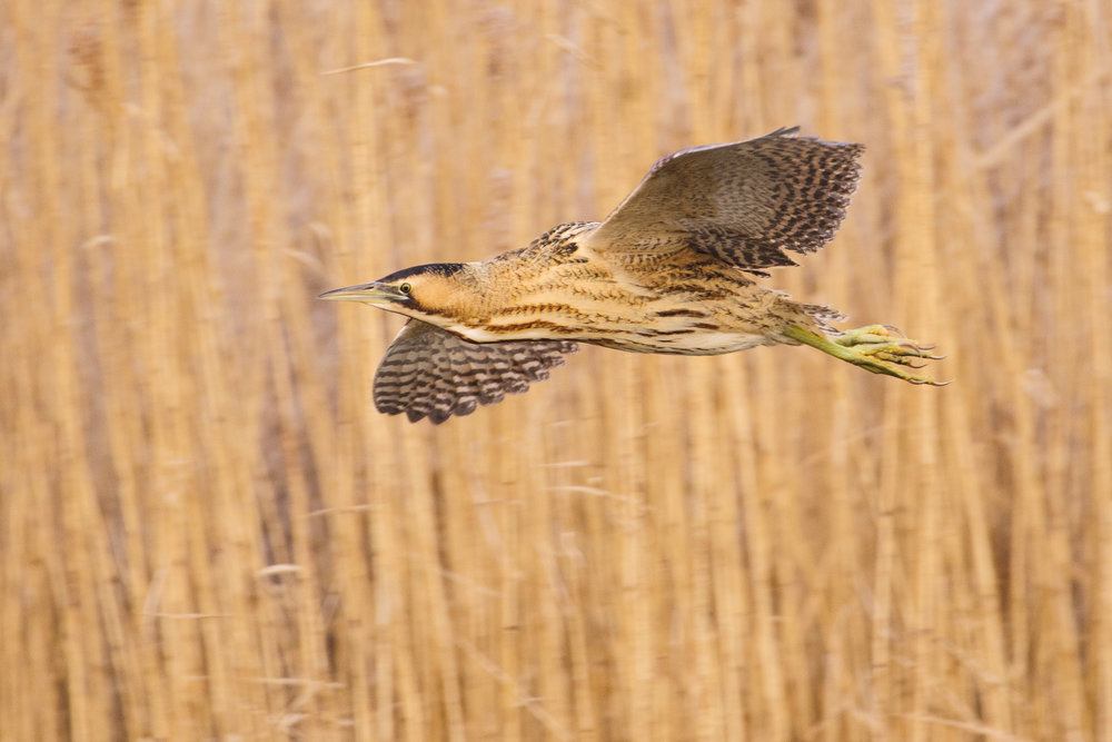Great Bittern (Botaurus stellaris), London, flying, winter, 02/16. Cropped