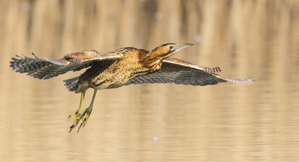 Great Bittern (Botautus stellaris), in flight between two reedbeds, London, 02/13. Cropped