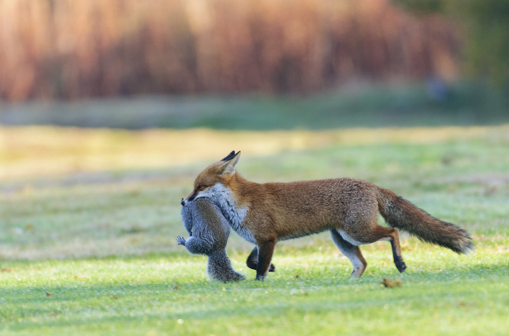 Red Fox (Vulpes vulpes), London, with recently-caught Grey Squirrel, 11/12