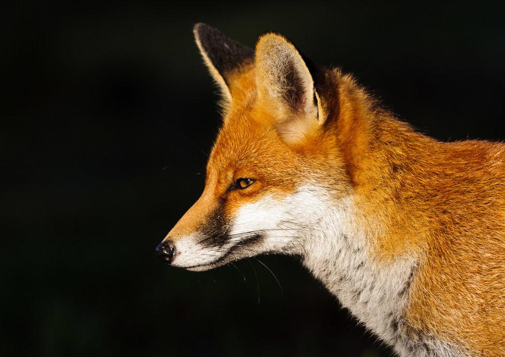 Red Fox (Vulpes vulpes), portrait, London, 11/12