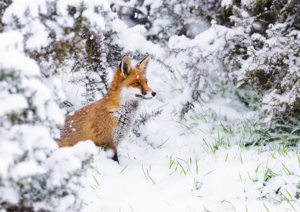 Red Fox (Vulpes vulpes), sitting in snow, London, 01/13