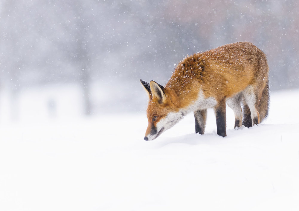 Red Fox (Vulpes vulpes), in falling snow, London, 01/13