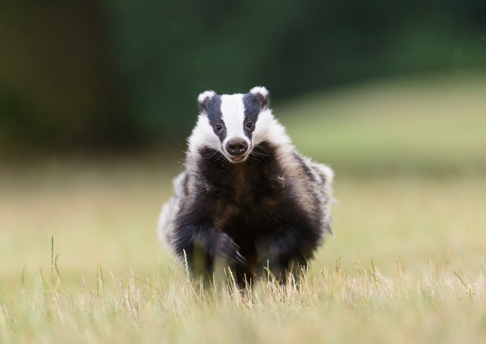 European Badger (Meles meles) running across open ground, London. 07/15. Cropped