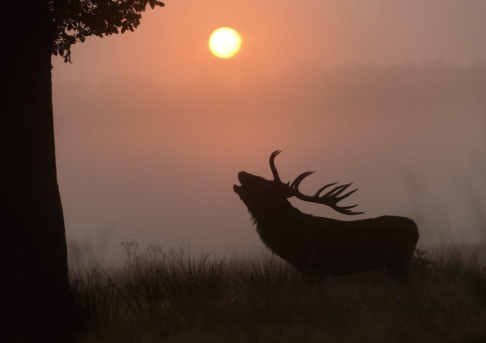 Red Deer (Cervus elaphus) stag roaring in grassland at sunrise. Richmond Park, London. 09/15.