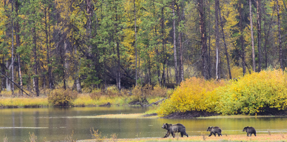 Grizzly Bear (Ursus arctos) mother and two cubs walking across the Snake River, Grand Teton National Park. The mother is known as Grizzly 610. Cropped. 09/15.