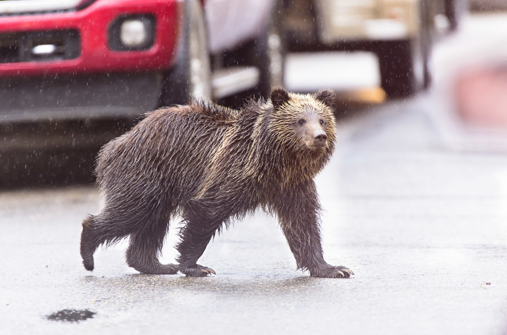 Grizzly Bear (Ursus arctos) cub crossing road between traffic, Grand Teton National Park. 09/15.
