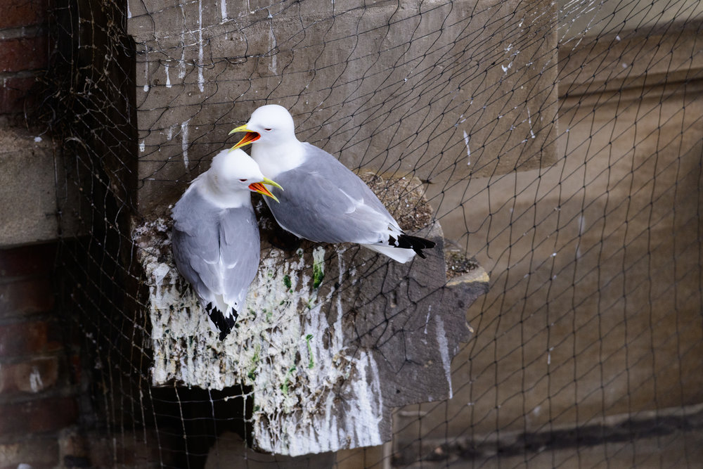 Black-legged kittiwake (Rissa tridactyla) pair calling whilst perched on netting on a building in Newcastle city centre. The netting is erected on listed buildings as a deterrent to stop birds nesting and defecating on them. Newcastle, UK. May