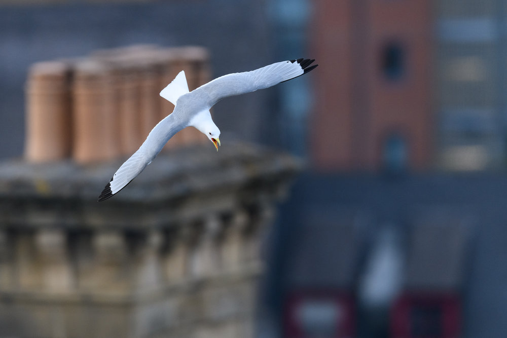Black-legged kittiwake (Rissa tridactyla) calling in flight over Newcastle city centre. Newcastle, UK. May. Cropped