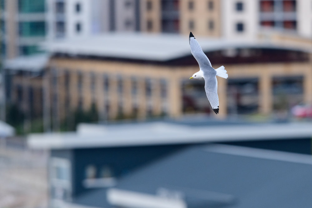 Black-legged kittiwake (Rissa tridactyla) in flight over Newcastle city centre. Newcastle, UK. May
