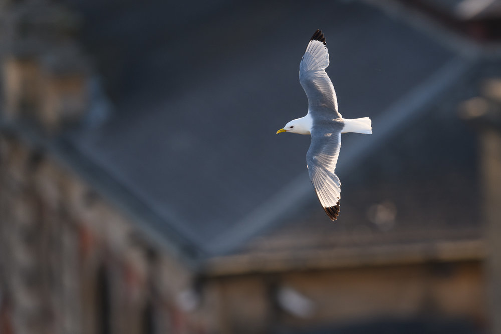 Black-legged kittiwake (Rissa tridactyla) adult in flight over Newcastle city centre. Newcastle, UK. June. Cropped