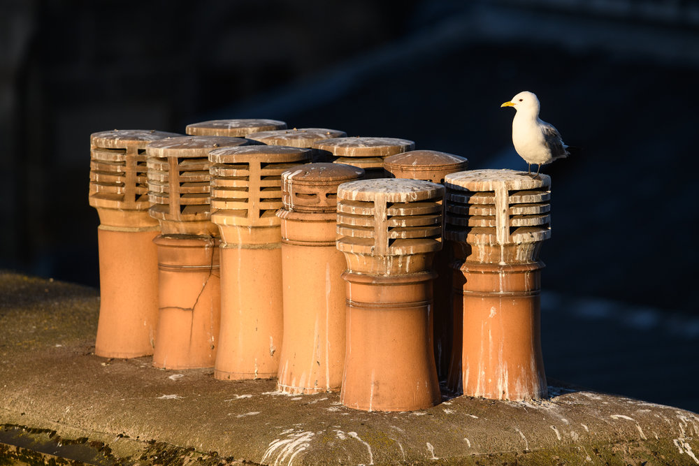 Black-legged kittiwake (Rissa tridactyla) adult perched on chimney. Newcastle, UK. June