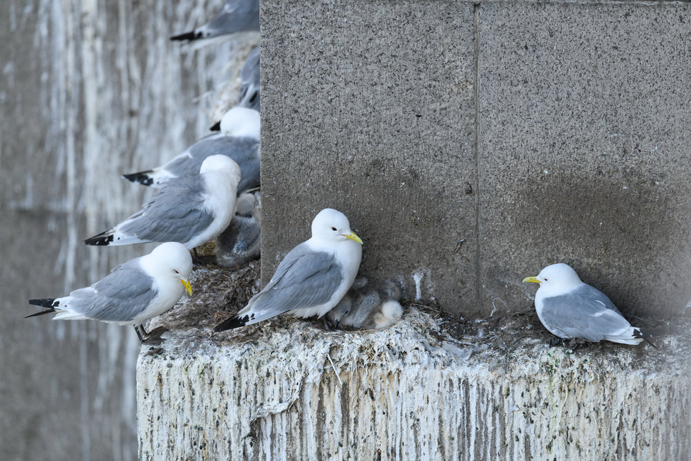 Black-legged kittiwake (Rissa tridactyla) adults and chicks on nests on a ledge of the Tyne Bridge. Newcastle, UK. June