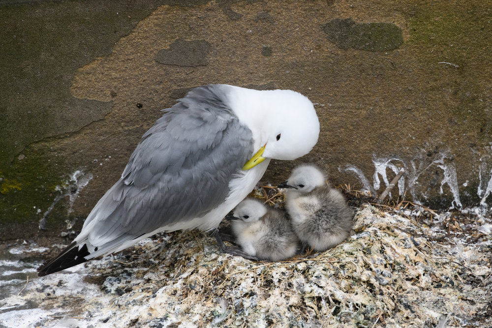 Black-legged kittiwake (Rissa tridactyla) adult and two young chicks at the nest on a building ledge. Newcastle, UK. June