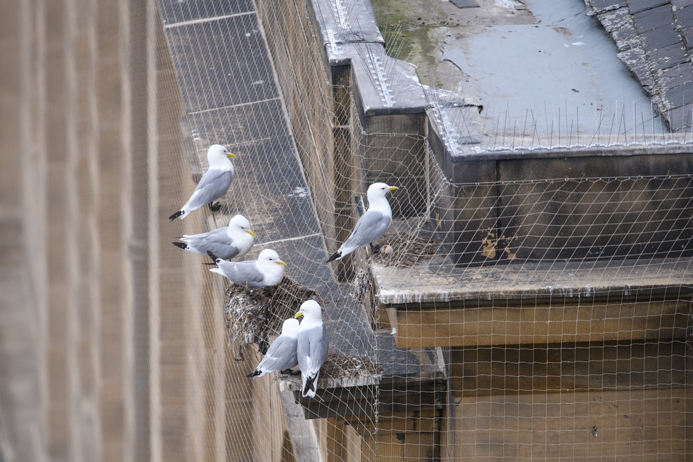 Black-legged kittiwakes (Rissa tridactyla) on their nests, built on a building ledge in Newcastle city centre. The netting was erected on listed buildings in an attempt to prevent kittiwakes nesting and defecating on the buildings. Newcastle, UK. June