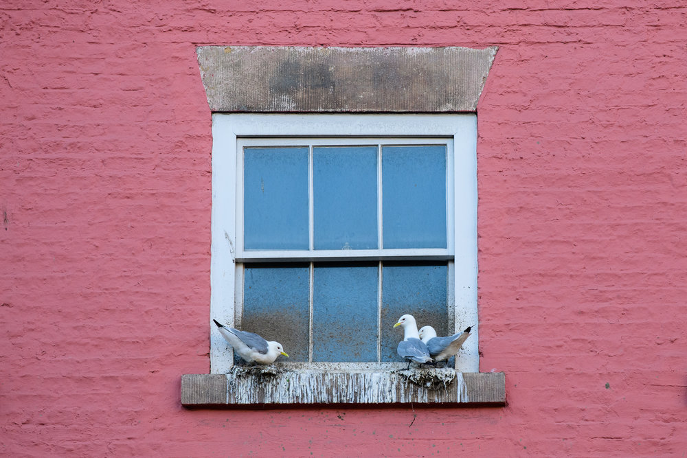 Black-legged kittiwake (Rissa tridactyla) adults on nests on a building in Newcastle city centre. Newcastle, UK. July