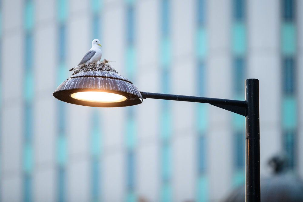 Black-legged kittiwake (Rissa tridactyla) adult on its nest, built on a lamp-post in Newcastle city centre. Newcastle, UK. July