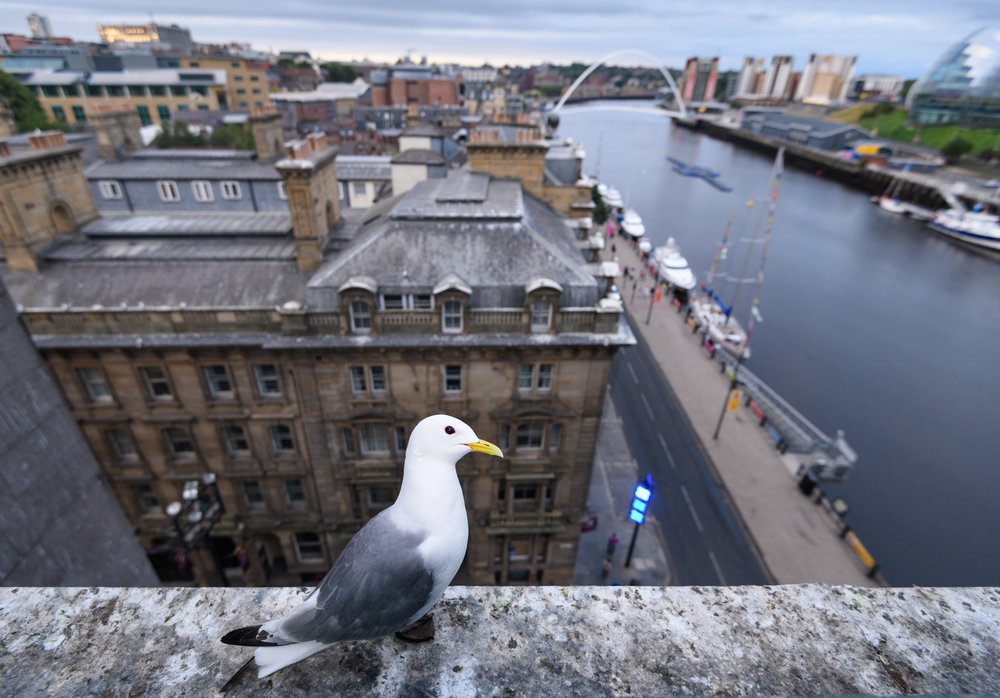 Black-legged kittiwake (Rissa tridactyla) adult on a ledge of the Tyne Bridge, overlooking Newcastle and the Tyne. Newcastle, UK. July
