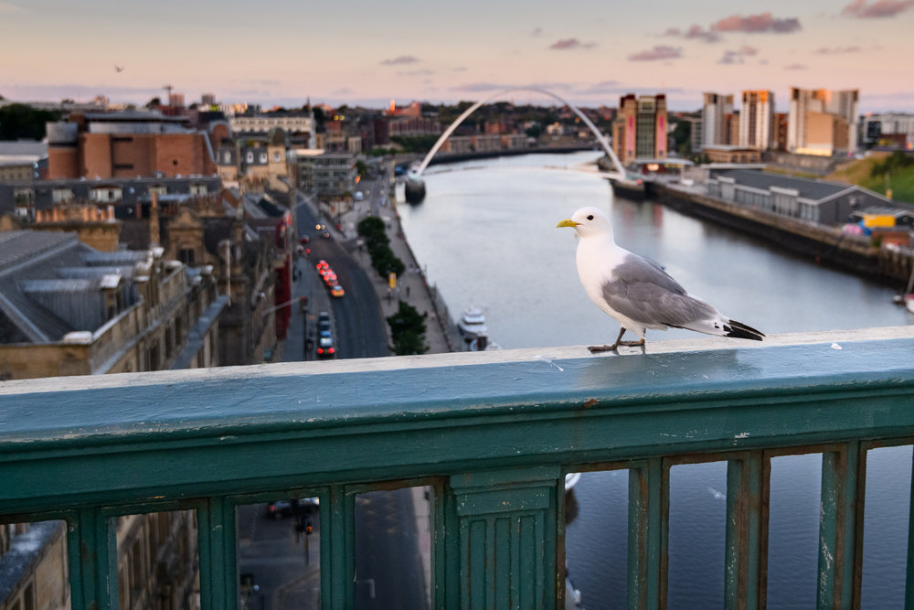 Black-legged kittiwake (Rissa tridactyla) adult perched on the Tyne Bridge, overlooking Newcastle and the Tyne. Newcastle, UK. July