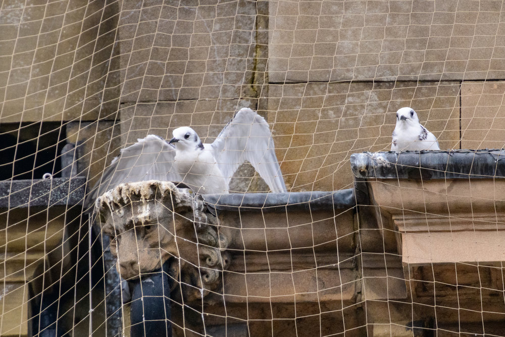 Black-legged kittiwake (Rissa tridactyla) juveniles on a building ledge in Newcastle city centre, trapped behind netting installed to prevent kittiwakes nesting. One later died, whilst the other was freed by the fire brigade. Newcastle, UK. July