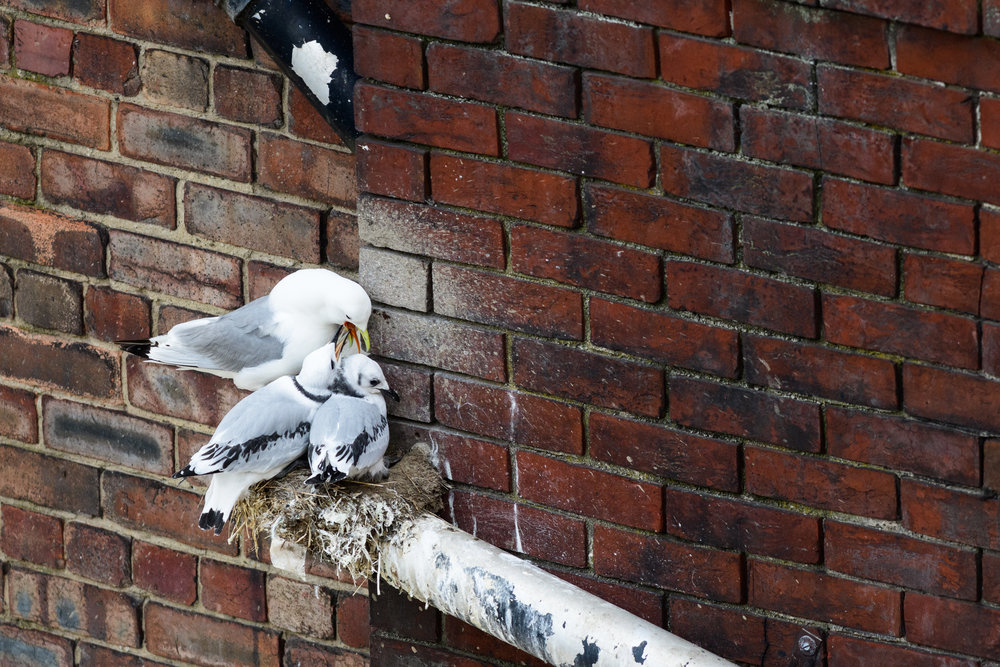 black-legged kittiwake adult feeding 2 young nesting on a drainpipe in Newcastle