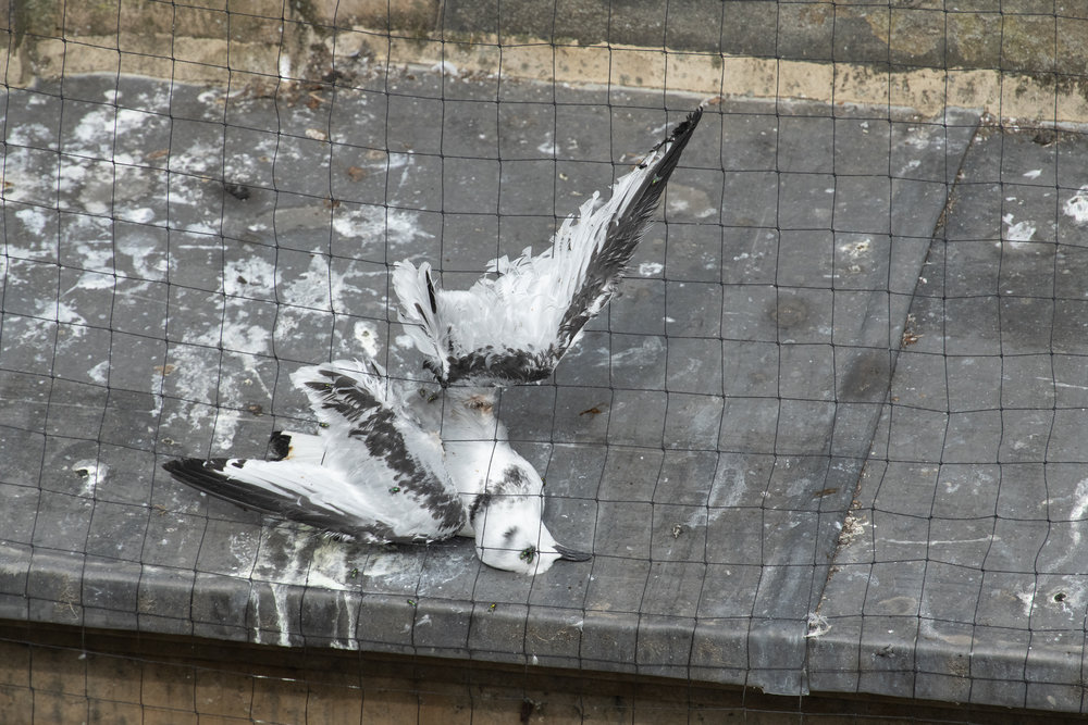 Black-legged kittiwake (Rissa tridactyla) juvenile that has died after becoming tangled in netting installed on buildings in Newcastle in an attempt to prevent the kittiwakes nesting on them. Newcastle, UK. July