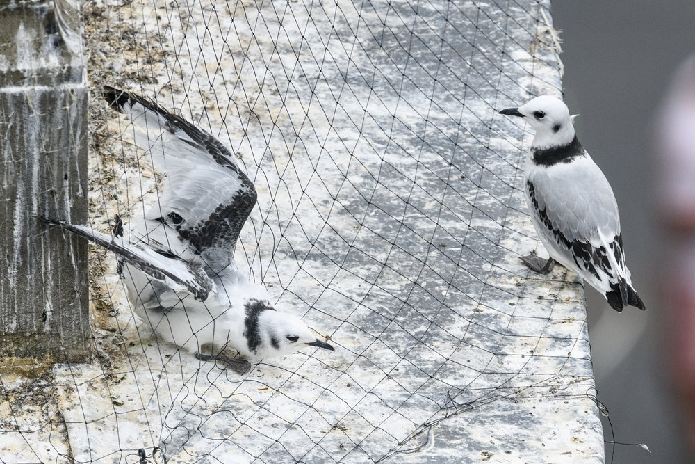 Black-legged kittiwake (Rissa tridactyla) juveniles, including one caught in netting intalled on buildings to prevent the kittiwakes from nesting there. Newcastle, UK. July