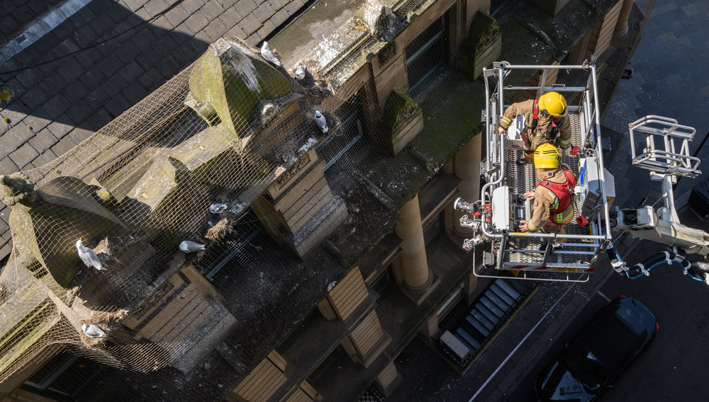 Black-legged kittiwakes (Rissa tridactyla) and the fire brigade coming to rescue a juvenile trapped by netting installed to prevent the kittiwakes nesting on the buildings. Newcastle, UK. July