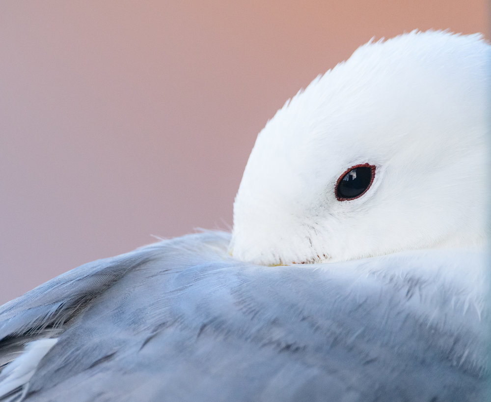 Black-legged kittiwake (Rissa tridactyla) adult portrait. Newcastle, UK. July