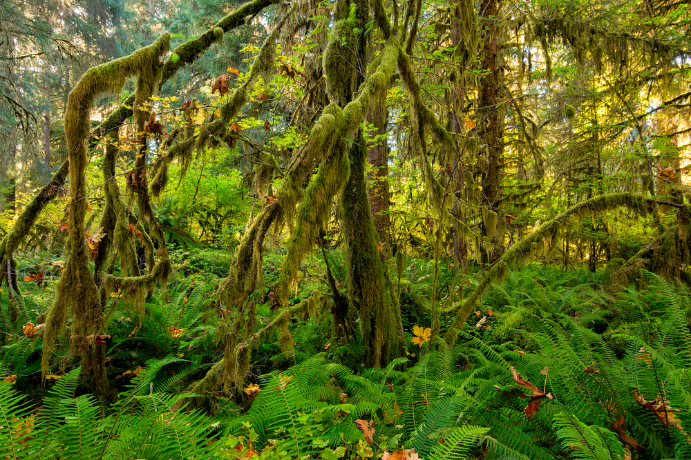 2015_10-Autumn-in-Hoh-Rainforest-web.jpg