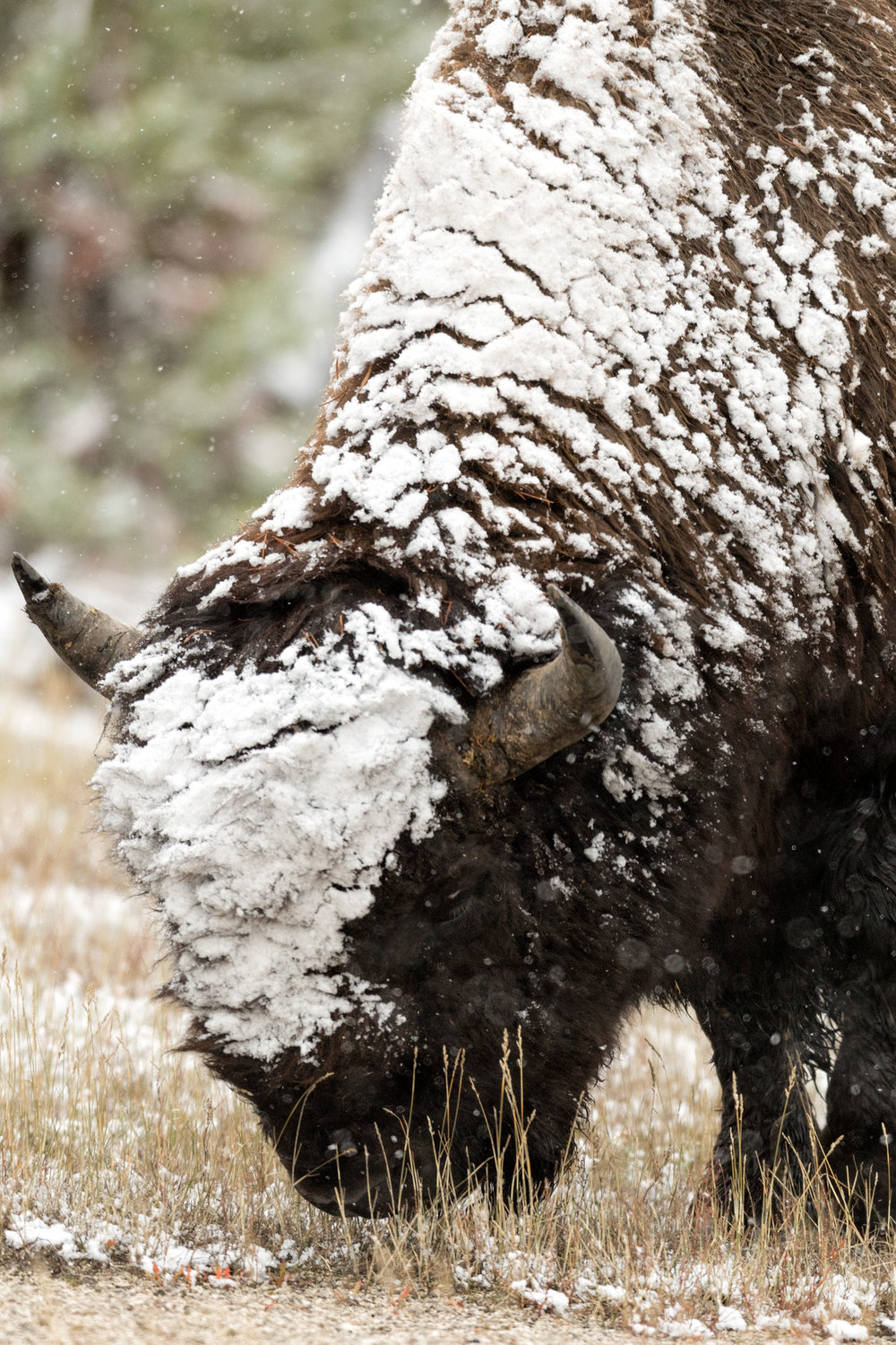 2017_10-Yellowstone-Bison-in-Snow2.jpg
