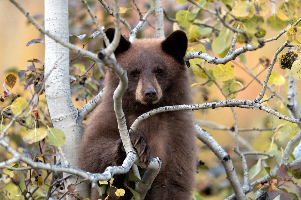 2017_10-Grand-Tetons-Black-Bear-in-tree-copy.jpg