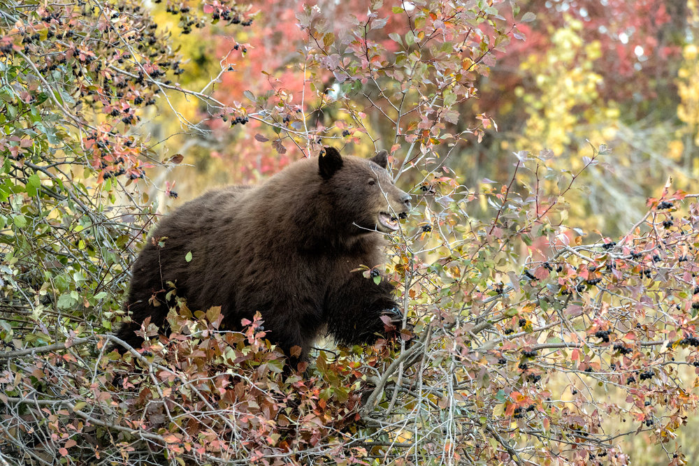 2017_10-Grand-Tetons-Black-Bear-in-tree2-copy.jpg