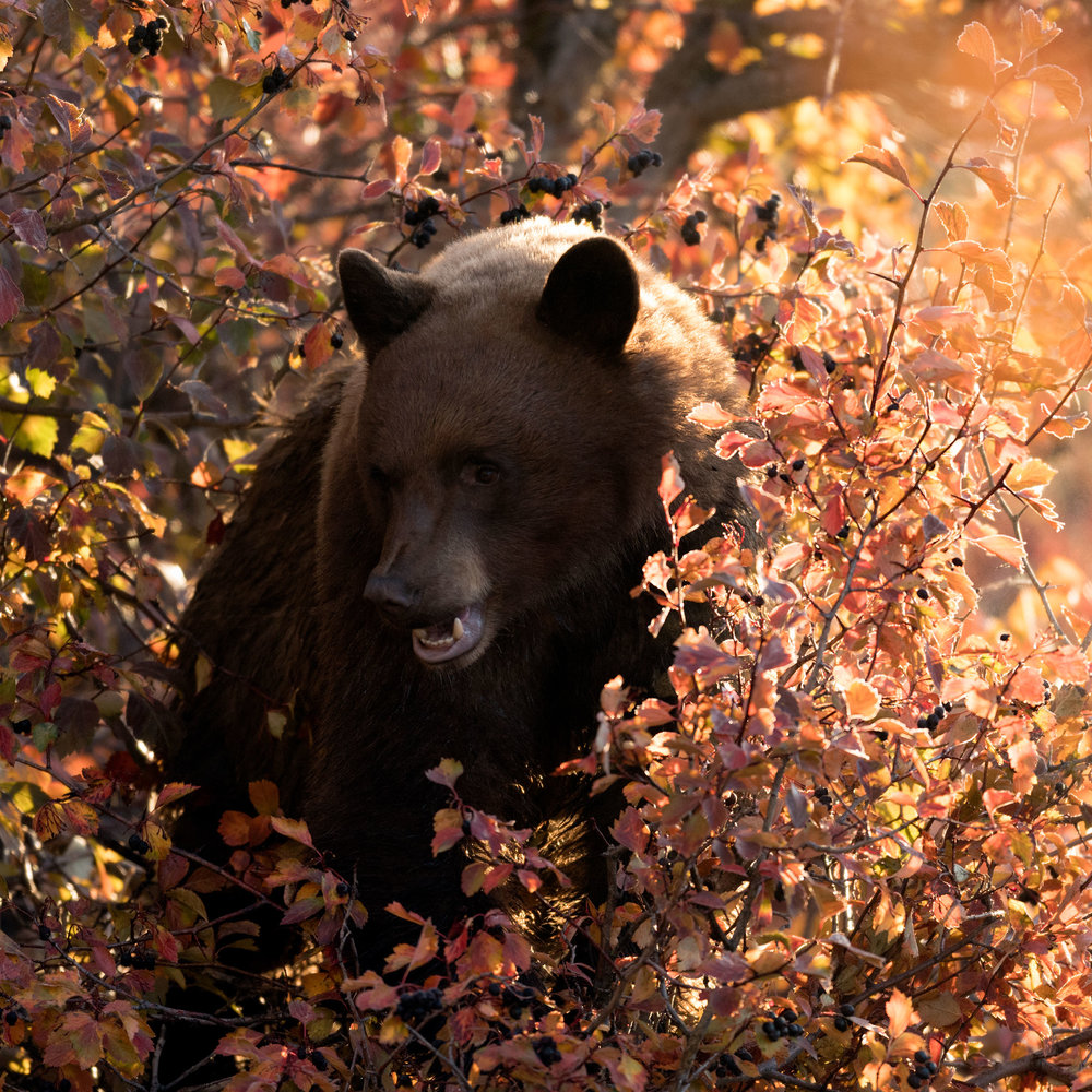 2017_10-Grand-Tetons-Black-Bear-in-tree4-copy.jpg