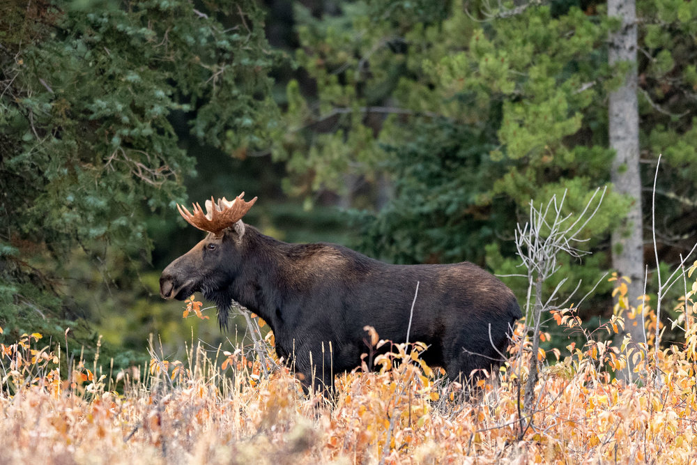2017_10-Grand-Tetons-Moose4-copy.jpg