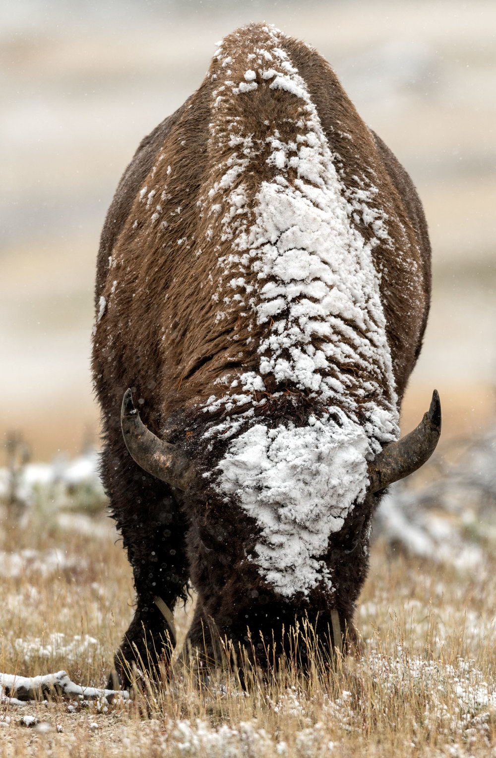 2017_10-Yellowstone-Bison-in-Snow4-copy.jpg