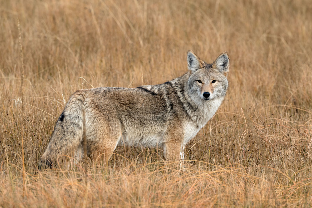 2017_10-Yellowstone-Coyote2-copy.jpg