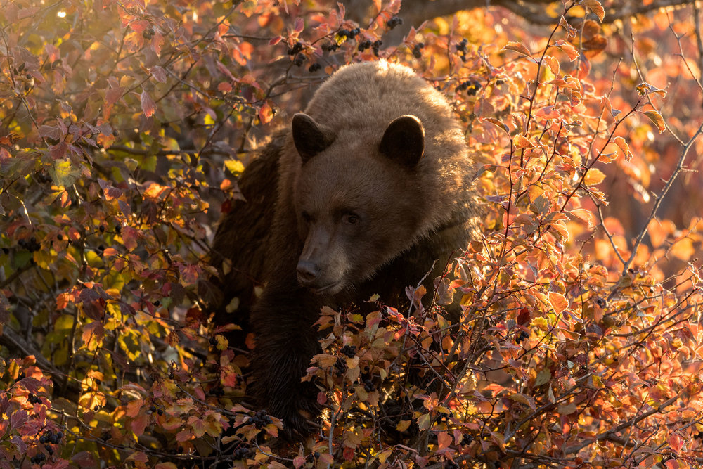 2017_10-Grand-Black-Bear-Backlight-copy.jpg