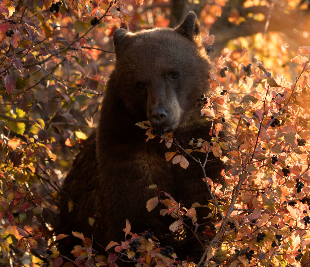 2017_10-Grand-Tetons-Black-Bear-in-tree3-copy.jpg