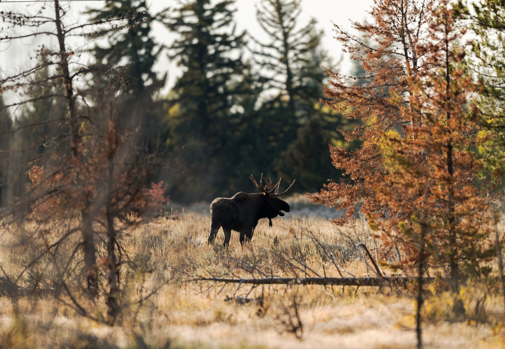 2017_10-Grand-Tetons-Moose-Bull-Fall-Colours-copy.jpg