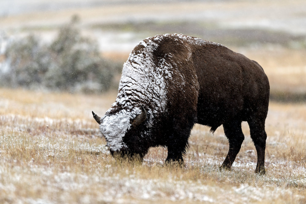 2017_10-Yellowstone-Bison-in-Snow-copy.jpg