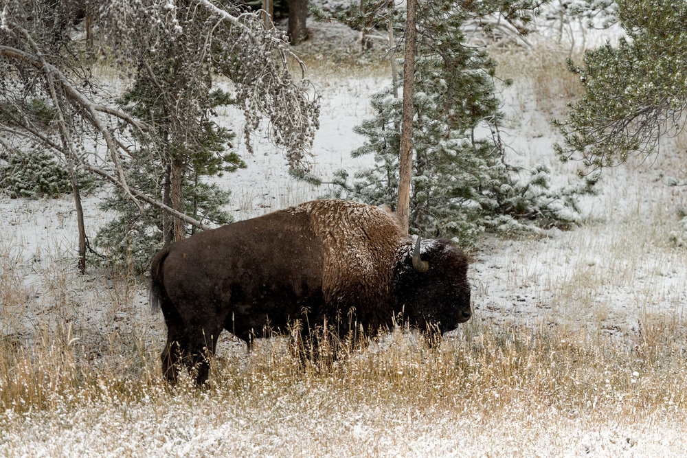 2017_10-Yellowstone-Bison-in-Snow3-copy.jpg