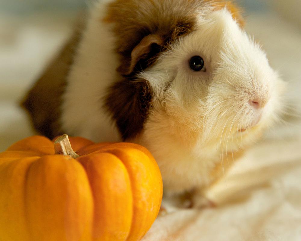 pumpkinpig.jpg