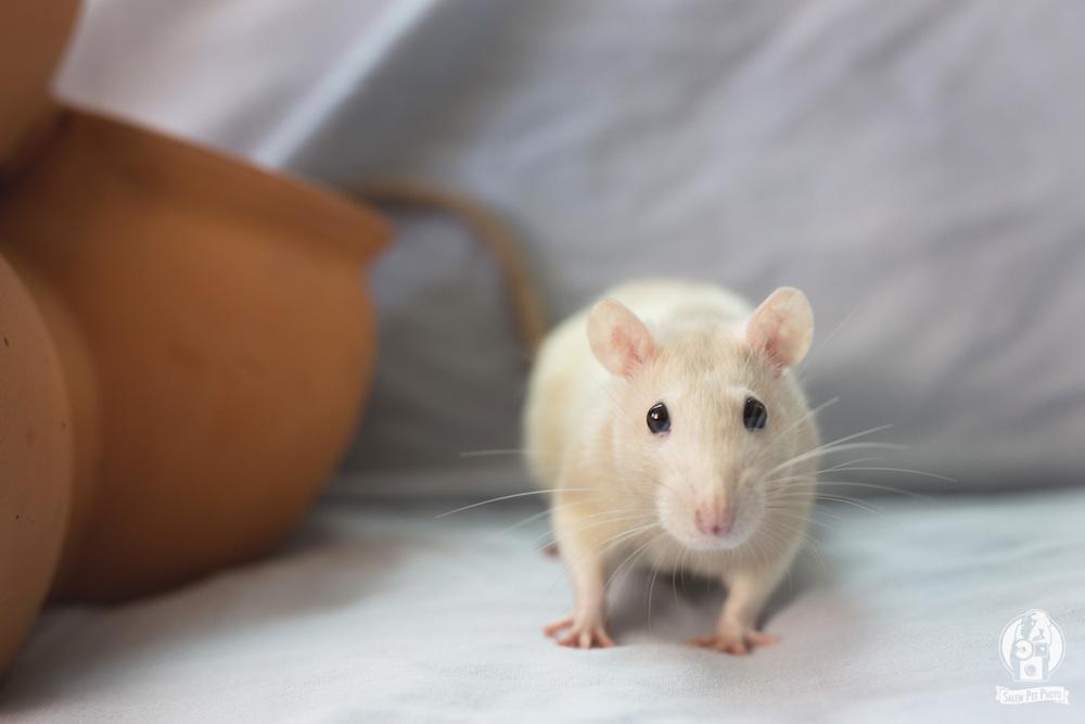rats-4.jpg