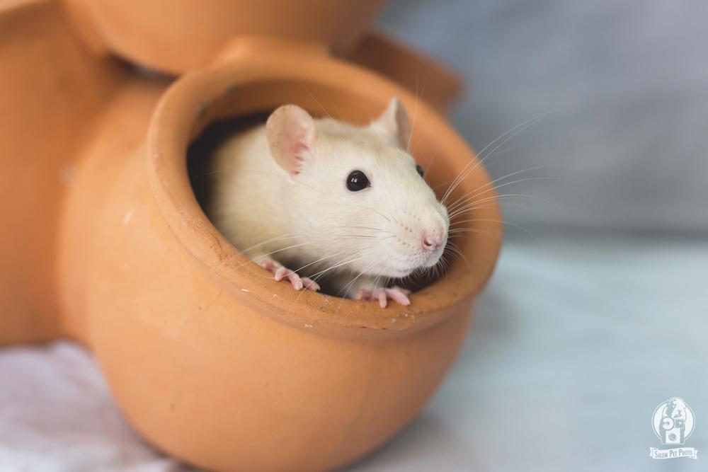rats-7.jpg