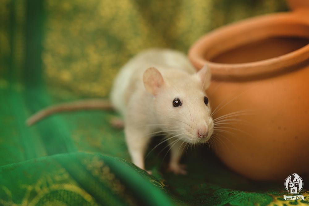 rats-27.jpg